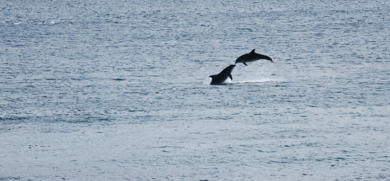 Dolphins in Dooagh Bay, taken from Teach Cruachan